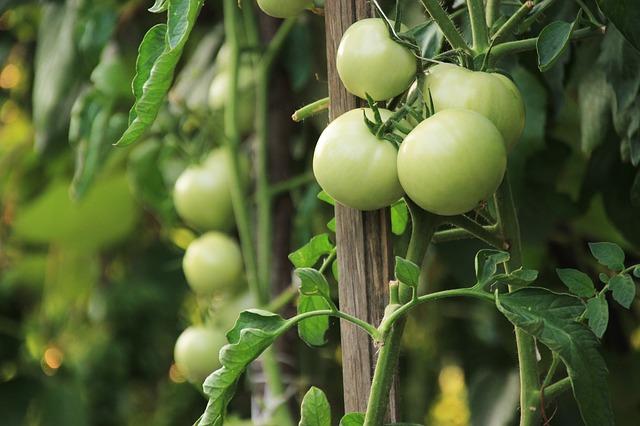 nezralá rajčata